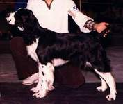 English Springer Spaniel image:  Ch Darley's Cotton Jenny