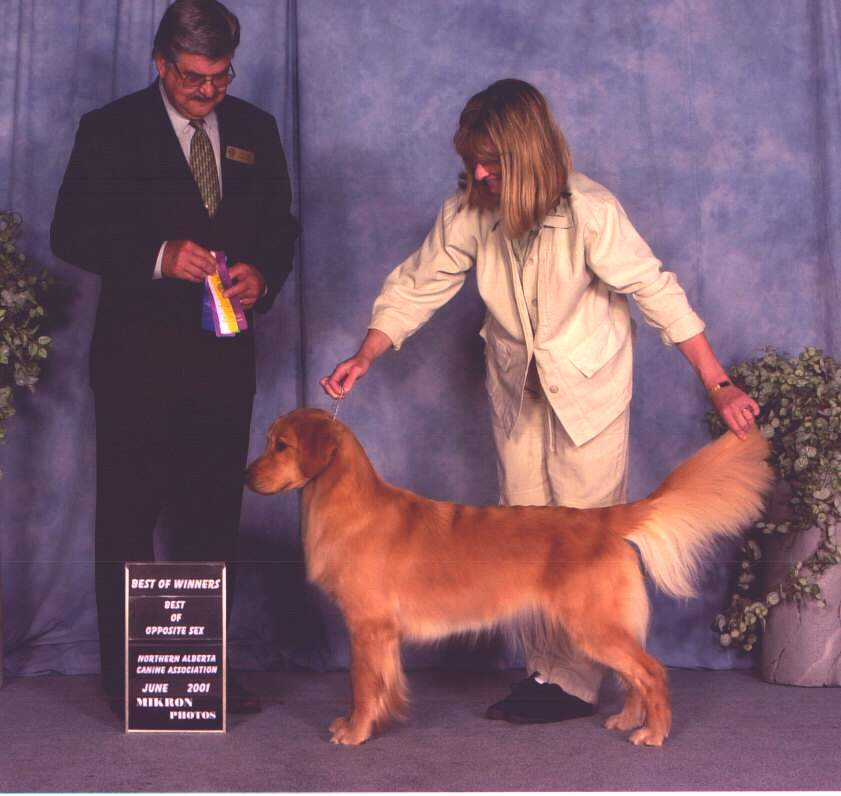 Golden Retriever image:  Tasmara Eclipse Of The Heart 'Brie'