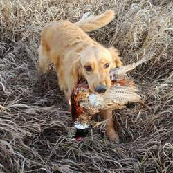 Golden Retriever, 'Cash' hunting pheasant.