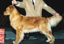 Golden Retriever image:  Can Ch Chuckanut's Bound For Blue
