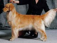 Golden Retriever image: Can Ch Eirene One Moment In Time