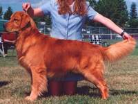 Golden Retriever image: Ch Tasmara's Golden Highjinxs CD 'Jinx'