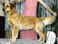 Golden Retriever image:  Can Ch Tasmara Blue Bye You