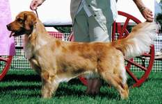 Golden Retriever image:  Can Ch Tasmara Crazy Furr You