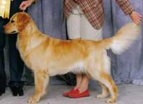 Golden Retriever image:  Can Ch Tasmara Games People Play