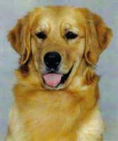Golden Retriever image: Can Ch Tasmara Savannah Nite