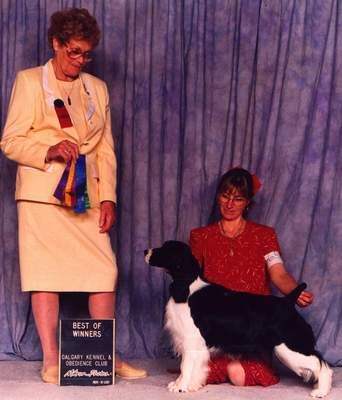 English Springer Spaniel image: Ch Barcath's Midnight Motion winning 'Best of Winners'