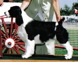 English Springer Spaniel image:  Tybee