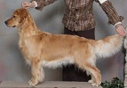 Golden Retriever image: Can Ch Tasmara Eggsplicit Design