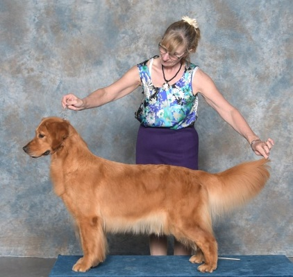 Golden Retriever image: Can Ch Tasmara Let's Twist And Shout