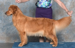 Golden Retriever image: Can Ch Tasmara Let's Twist And Shout 'Starr'