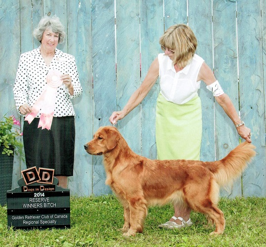 Golden Retriever image: Can Ch Tasmara Runnin Amok Abroad